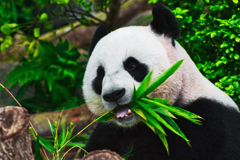 bamboo is eco-friendly panda