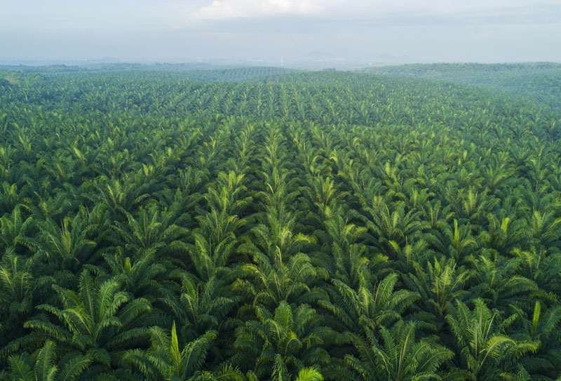 Sustainable-Palm-Oil-field