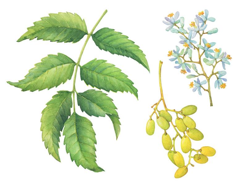 natural pesticide neem tree