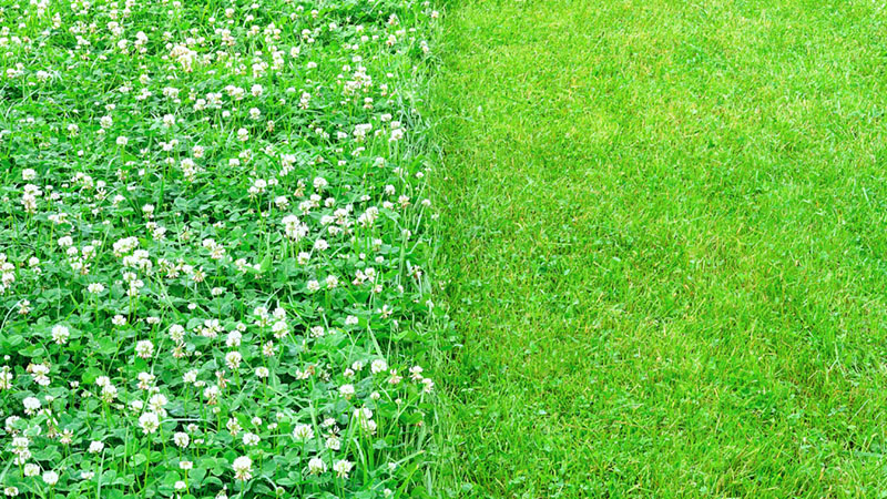 microclover lawn